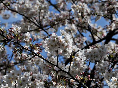 Cherry_blossom3