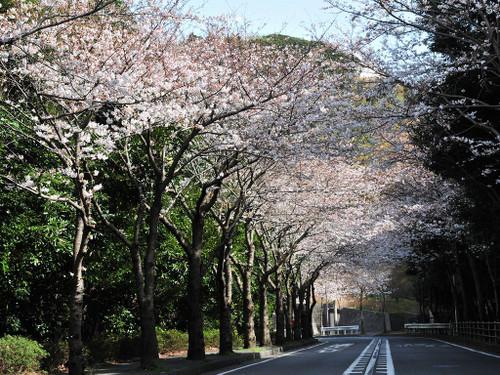 Cherry_blossom5