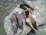 duckpigion
